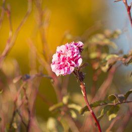 Marraskuun Ruusu