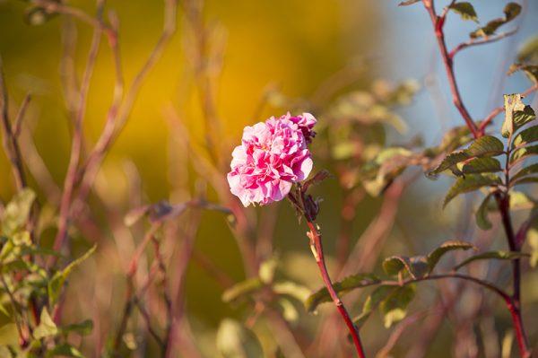 canvastaulu-marraskuun-ruusu-vari-main