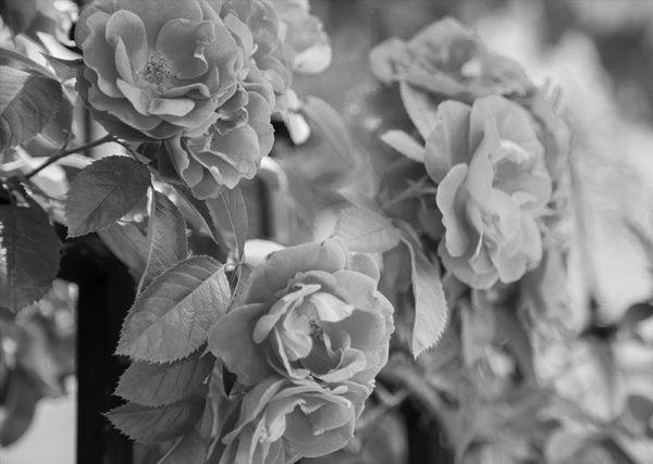 canvastaulu-pensasruusu-bw-main