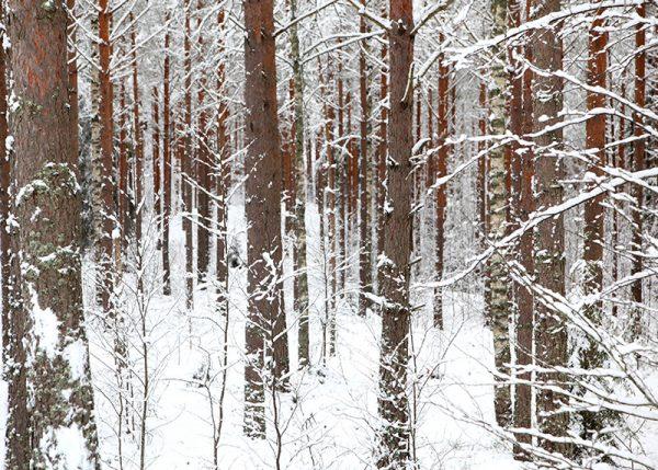 canvastaulu-talvimetsa-vari-main