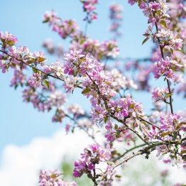 Kirsikankukka 2