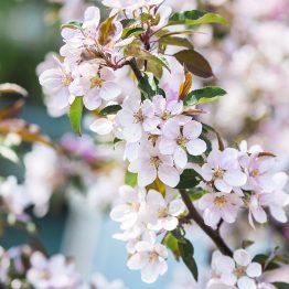 Kirsikankukka 4