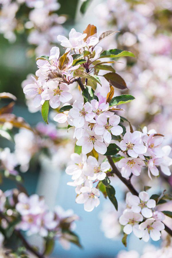 grafesko-canvastaulu-kirsikankukka-5-vari