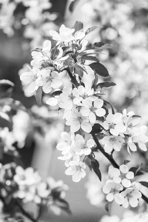 grafesko-canvastaulu-kirsikankukka-5-bw