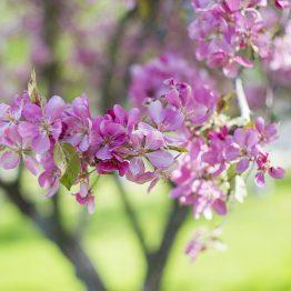 Kirsikankukka 3