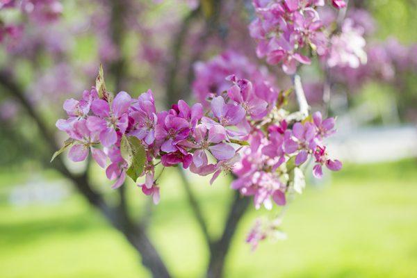 kirsikankukka-main
