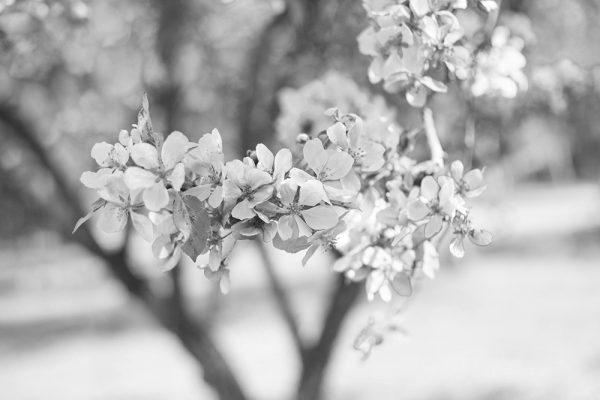 kirsikankukka-bw-main