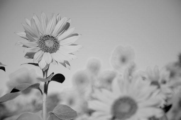 canvastaulu-auringonkukkapelto-mustavalkoinen-main