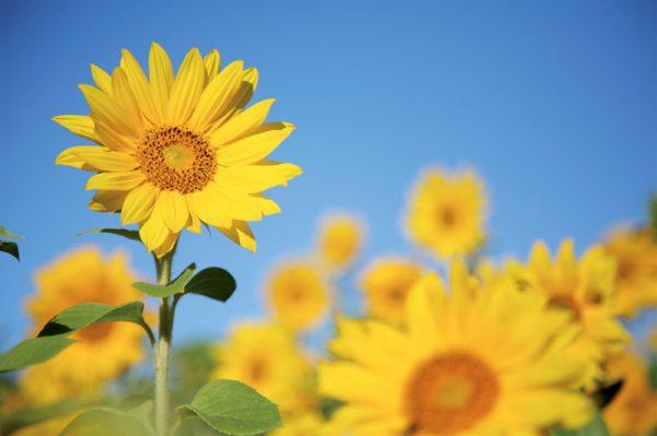 canvastaulu-auringonkukkapelto-vari-main